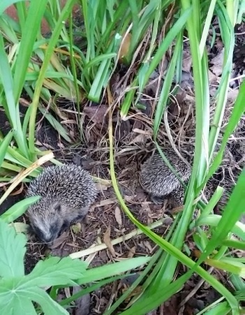 A family of hedgehogs in Frayne Road, Ashton